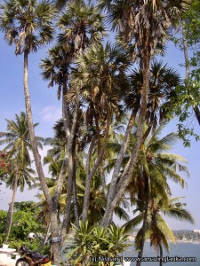 coconut and palmyrah trees infront of the Clossenberg Hotel