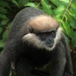 The purple-faced langur (Semnopithecus vetulus), also known as the purple-faced leaf monkey