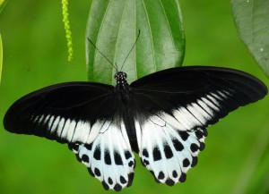 The Blue Mormon ( Papilio polymnestor) is a large swallowtail butterfly found in South India and Sri Lanka.