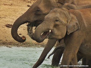 Elephants @ Udawalawe National Park