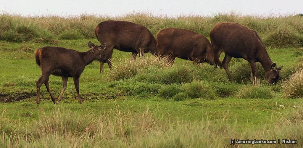 A herd of Sambar Deer gracing @ Horton Plains National Park