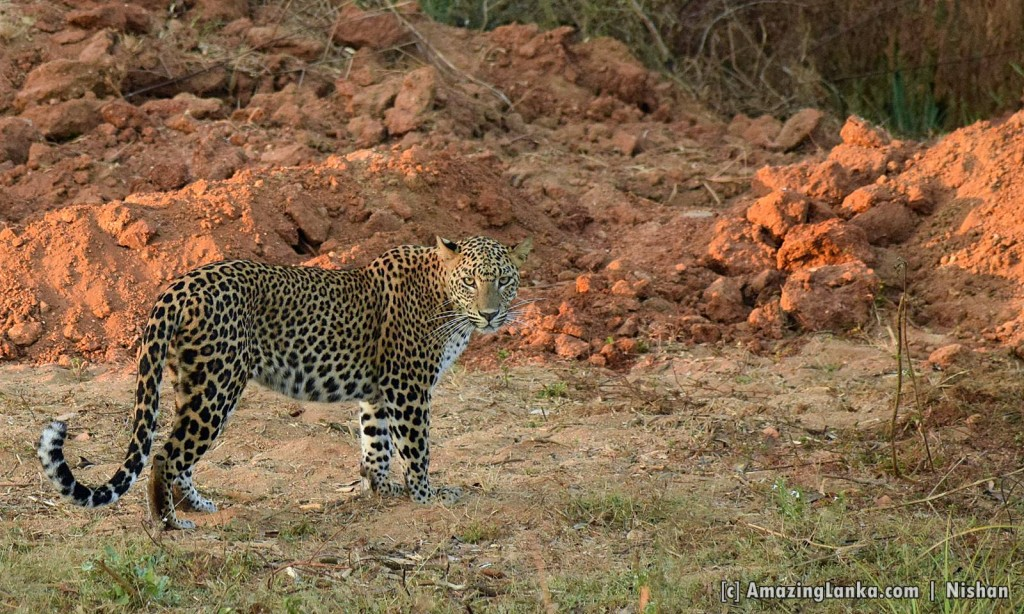 A leopard very close to the Galge Entrance pf the Lunuamvehera National Park seen at about 6.30 AM