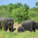Elephants are the main attraction at the Wasgamuwa National Park