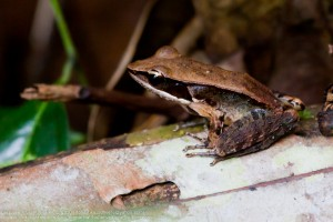 A Frog in Sinharaja