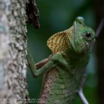 Karamal Bodilima (The Hump-nosed Lizard) - Sinharaja