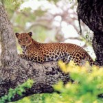 Wild Cats - leopards