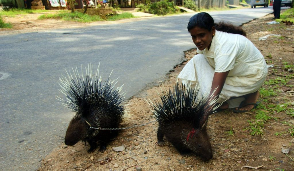 Indian Crested Porcupine (Hystrix indica) being exibited near Pinnawala, Sri Lanka