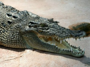 Head of a saltwater crocodile