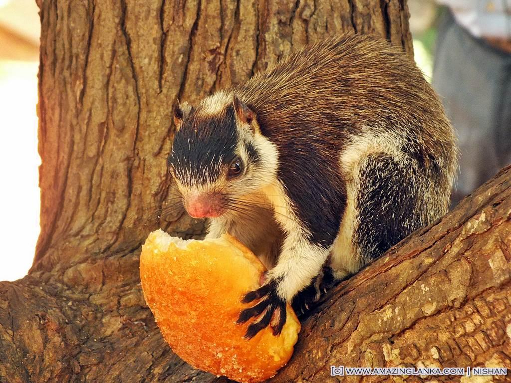 The Giant Squirrel (Ratufa macroura) is called Dandu Lena in Sinhala and Periya Anil in Tamil. Giant Squirrels are also known as Rock Squirrels. @ Sigiriya