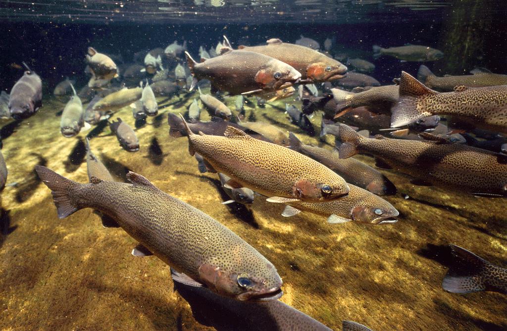 Fresh Water Fishes Of Sri Lanka Amazinglanka Com