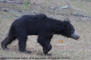 Sri Lanka Sloth Bear