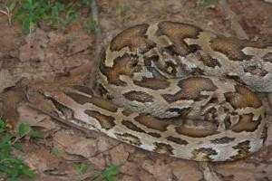 Python at Udawalawe National Park
