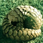 Pangolins and porcupines