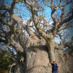 baobab Tree at Mannar
