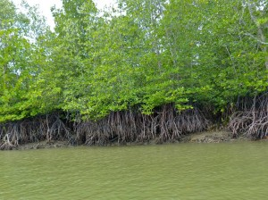Tall-stilt Mangroves (Rhizophora apiculata)