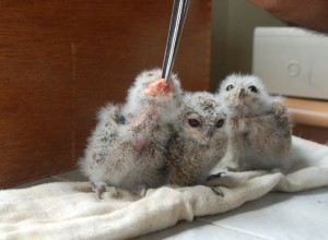Baby Collared Scops Owls at the animal rescue center at Hiyare