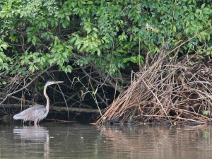 Ardea purpurea (Purple Heron) in the Muthurajawela Marshes