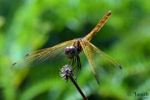 Dragonfly at Hiyare, Galle, Sri Lanka