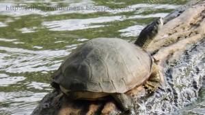 Parker's Black Turtle