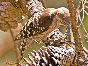 Brown Capped Indian Pygmy Woodpecker
