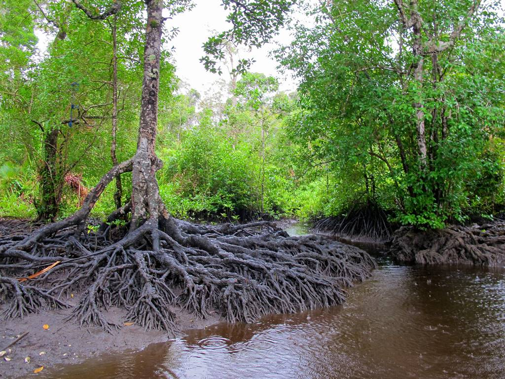 mangrove ecosystem Mangroves are highly productive ecosystems which cover roughly 60-75% of the world's tropical coastlines distributed over more than 112 countries with a total area near 181,000km 2, mangals are a widespread ecosystems.