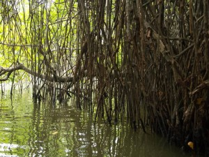Navigating through mangroves of Maduganga