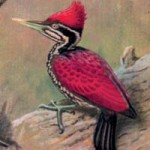 Crimson-backed Woodpecker