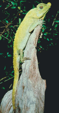Lyre-headed Lizard