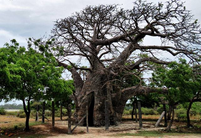 The Baobab tree of Delft Island in Jaffna