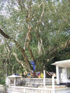 The sapling of Sri Maha Bodhi planted in 3 century BC