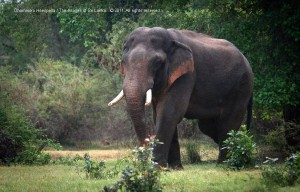 Wildlife in the jungles surrounding Kala Wewa