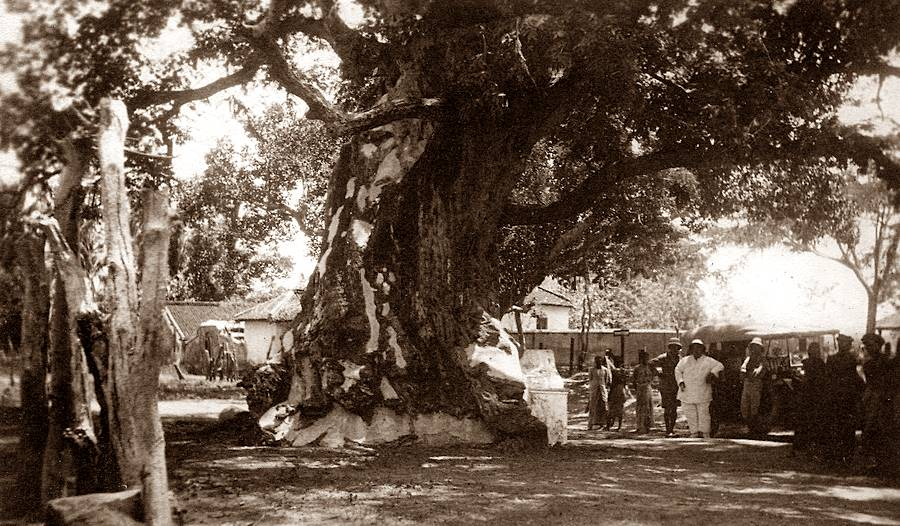 Knox's Tamarind Tree at Mutturfrom Dr. R.L. Spittel photograph albums.