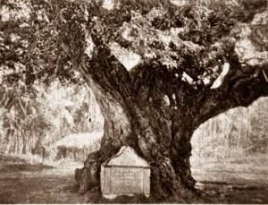The Tamarind tree where Robert Knox was captured Golden tips. A description of Ceylon and its great tea industry by Cave, Henry W.  Published 1900