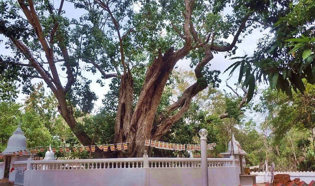 The main Bodhi Tree of Hiriwadunna Hermitage which is at the center of controversy
