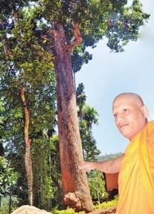 The massive mango tree at the Wegama Rajamaha Viharaya