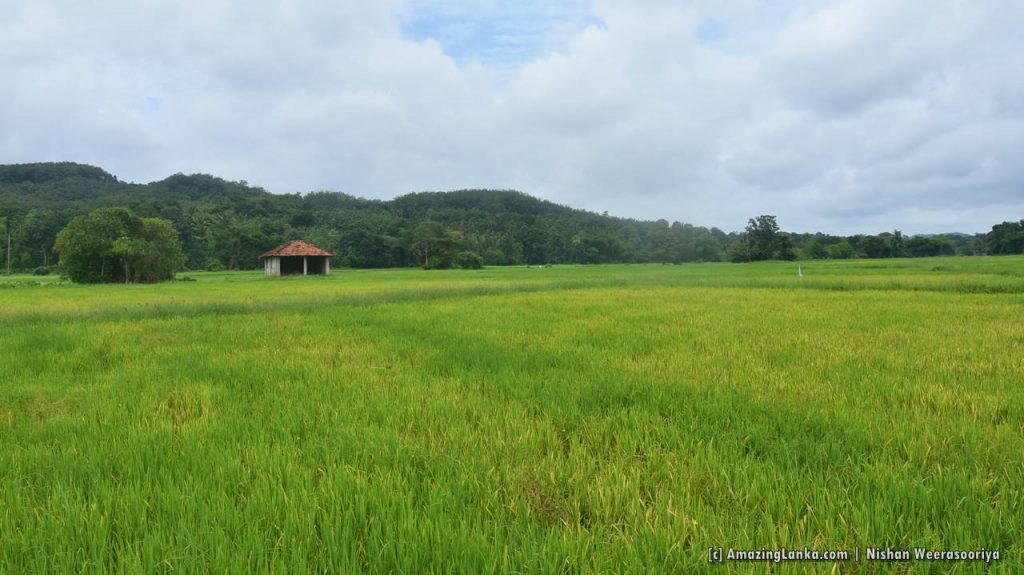 View of Bothale Welameda Ambalama over the lush paddy fields