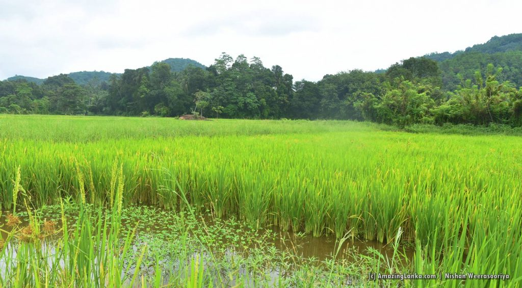 Lush paddy fields surrounding Bothale Welameda Ambalama