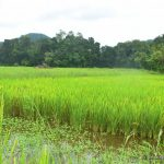 Lush paddy fields surrounding Bothale Welameda Ambalama