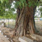සියම් මහ නිකායේ ජීවමාන සංකේතයක් බදුවු ත්රිකුණාමලයේ බෝරුක් සතර - Four Historic Bo Trees in Trincomalee